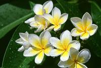 flor-nacional.jpg